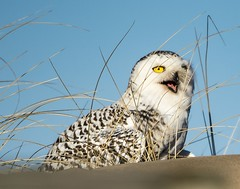 Be a good bloke and pass the sunscreen over . . . (Dr. Farnsworth) Tags: bird large female owl snowyowl sand dune beak mouth open dogs idiot muskegon mi michigan winter january2019