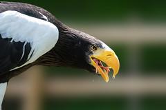 Dispatched... (CJH Natural) Tags: stellersseaeagle riesenseeadler haliaeetuspelagicus eagle snack lunch chick adler nature birds