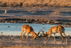 Impala duel (selvagedavid38) Tags: impala botswana africa watering hole safari fight rut deer antelope bucks rival male rutting challenge
