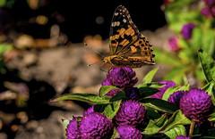 Butterfly (ost_jean) Tags: butterfly vlinder papillon nature macro nikon d5300 tamron sp 90mm f28 duinbergen westvlaanderen belgie belgium belgique composition