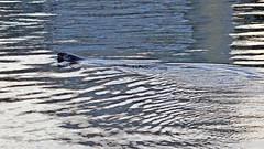 Halichoerus grypus - a grey seal in the waters of Stockholm (Franz Airiman) Tags: halichoerusgrypus säl seal sälis sälx grayseal greyseal animal djur stockholm sweden scandinavia wild vild vattendjur mammal watermammal däggdjur vattendäggdjur gråsäl saltsjön finnboda nacka finnbodahamn