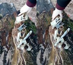 bones (k i l d a) Tags: bones beach combing beachcombing aberdeen scotland animals