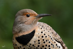 Northern Flicker Portrait (dennis_plank_nature_photography) Tags: avianphotography thurstoncouny birdphotography naturephotography flicker wa avian birds blind copspse home littlerock nature