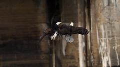 Conowingo Bald Eagle - 2018 (Dinusaur) Tags: baldeagle fishfight
