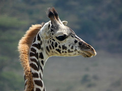 Masai giraffe - Giraffa camelopardalis tippelskirchii (Linda DV) Tags: masaigiraffe giraffacamelopardalistippelskirchii artiodactyla lindadevolder africa 2018 lumix travel geotagged nature kenya fauna naivasha lake wileliwildlifepark