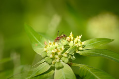 Wasp (Yani Dubin) Tags: malaysia animal bright nature colour gimp bug insect asia macro d850 sigma 180mmf28exdgoshsmapomacro macrophotography darktable color plant arthropod langkawi wasp