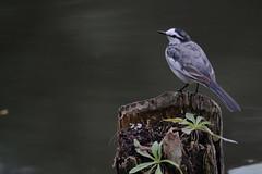 DSCF6291 (jojotaikoyaro) Tags: bird animal nature wildlife suginami tokyo japan fujifilm xh1 xf100400mm