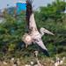 Indian Pelican in Full Spread