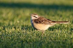 Chalk-browed Mockingbird | camposhärmtrast | Mimus saturninus (Daniel.Pettersson) Tags: fåglar fågel birds bird aves argentinachile2018 argentina mimussaturninus chalkbrowedmockingbird camposhärmtrast