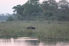Buffalo on the River Bank (Rckr88) Tags: buffalo river bank buffaloontheriverbank rivers riverbank water sabie sabieriver krugernationalpark southafrica kruger national park south africa buffalos buffaloes animals animal wildlife nature outdoors
