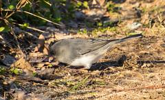 7K8A1183 (rpealit) Tags: scenery wildlife nature weldon brook management area darkeyed junco bird