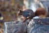 Hoernchen-2018-3063.jpg (Joachim Dobler) Tags: eichhörnchen eichhoernchen squirrel écureuil ardilla scoiattolo esquilo nature natur nagetier esquito wildlife animal cute naturephotography squirrellove wildlifephotography bestsquirrel nutsaboutsquirrels cuteanimals