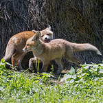Mother fox with one of her pups thumbnail