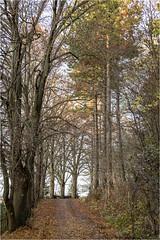 Autumn Colors (:: Blende 22 ::) Tags: ahorn tree baum color autumn path light canoneos5dmarkiv ef2470f28liiusm