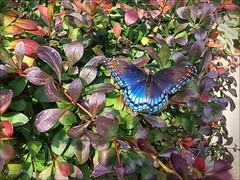 Azure Dream (danielgweidner) Tags: butterfly sewardplaza iphone azure rhopalocera lepidopter nature insect caterpillar papillion schmetterling borboleta mariposa babochka blue farfalle