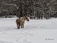 Donkey-Grimes Hill-Snow Storm-Sabinsville-Nov 2018 (dfbphotos) Tags: 2018 november fall tioga landscapes mountains nature snow sabinsville pa usa