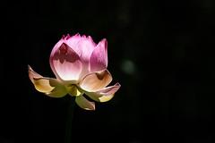 Pink Lotos (grzegorzmielczarek) Tags: maurice mauritius nelumbo lotos lotus mascareneislands pamplemoussesbotanicalgarden pamplemousses mu