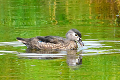Wood Duck (Aix sponsa) female (R-Gasman) Tags: travel bird woodduck aixsponsa female inglewoodbirdsanctuary calgary alberta canada