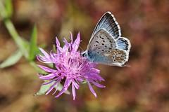 Bläuling (Hugo von Schreck) Tags: hugovonschreck butterfly schmetterling bläuling macro makro insect insekt canoneos5dsr greatphotographers tamron28300mmf3563divcpzda010 buzznbugz