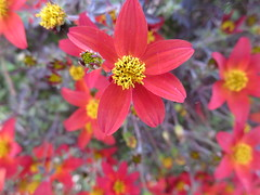 Late season flowers (jamica1) Tags: flowers blooms blossoms salmon arm bc british columbia canada shuswap red