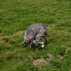 180605 Willow Trees-0315 (whitbywoof) Tags: rupert whippet staffie brindle lurcher