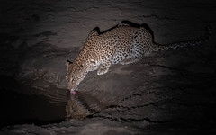 A leopard drinks by moonlight (tickspics ) Tags: southluangwa zambia africanleopard africa felidae iucnredlistvulnerable luangwavalley pantherapardus pantherinae southluangwanationalpark