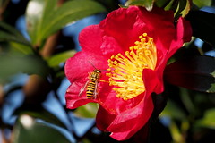 Southern Yellowjacket (Vespula squamosa) (Jim Atkins Sr) Tags: southernyellowjacket bee vespulasquamosa wasp camelliasasanqua olympuspenepm2 olympus camelliasasanquayuletide fairfieldharbour northcarolina macro closeup