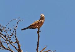 Purple Roller/Rollier varié (safrounet) Tags: kgalagadi roller rollier purple varié arid aride sand oiseau bird sable afriquedusud southafrica