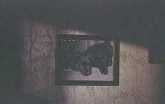 Shani & Kali (Yutaka Seki) Tags: dogs puppies lab labrador retriever picture photo frame grain grainy kodakgcultramax400 expiredfilm homedeveloped unicolorpresskit argentixcac41powderkit gafmemo35ee cameratest firstroll