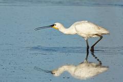 Spatule/ Spoonbill (Elisabeth Lys) Tags: spoonbill mirror spatule bird oiseau nature nikon d7200 150600mm contemporary