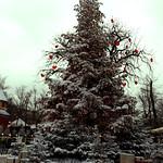 Christmas Tree in Tivoli thumbnail