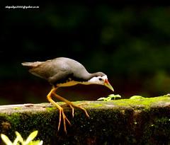 IMG_6348 White-breasted Waterhen (Amaurornis phoenicurus) (vlupadya) Tags: greatnature animal aves fauna indianbirds whitebreasted waterhen amaurornis kundapura karnataka