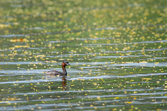 Little Grebe (BP Chua) Tags: bird nature wild wildlife animal grebe duck littlegrebe pond lorhalus singapore park nikon d850 600mm