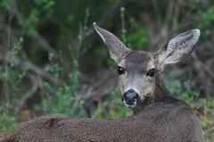 Hello, deer. (wynner3) Tags: nikon nikond7000 nikkor200500mmf56 california muledeer deer bayarea wildlife blacktaileddeer
