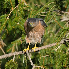 Meet Darwin (paulv2c) Tags: wild nature bird predator raptor coopershawk hawkfir tree talon green forest wildlife feather beak stare perch paulvitucciphotographycom