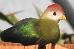 Red-crested Turaco (blue33hibiscus) Tags: redcrestedturaco touraco longleat wiltshire