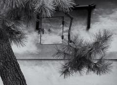 Pine (Tim Ravenscroft) Tags: pine tree nijo castle warehouse monochrome blackandwhite blackwhite kyoto japan hasselblad hasselbladx1d