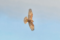 Marsh Harrier (robin elliott photography) Tags: marshharrier bird birds birdwatch birdwatching nature wild wildlife