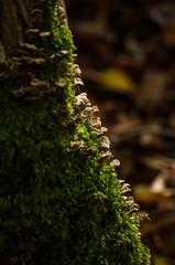 sortie ..... champignons (Zabou256 aussi sur Ipernity) Tags: champignon champignons premierdecordée