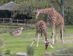 Giraffen (Marjon van der Vegt) Tags: diergaardeblijdorp rotterdam dieren vlinders tijgers giraffen ijsberen vogels
