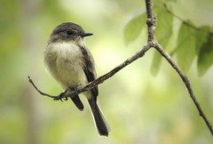 Eastern Phoebe (irbicjoy) Tags: nature feebee phoebes easternphoebe phoebe birds bird flycatchers flycatcher