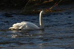 IMG_4760 (monika.carrie) Tags: monikacarrie wildlife scotland seatonpark