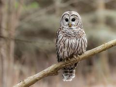 Barred Owl (bakosmike) Tags: barred owl nikon wildlife bird animal forest raptor outdoors nature