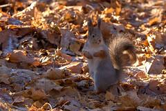 DSC_9623 (vovadvd) Tags: белки щукино squirrels nikon nikond750 tamron tamron70200g2