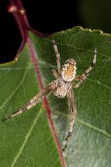 cf. Cyclosa fuliginata (zosterops) Tags: australia tasmania hobart canoneos6d canonmacrolensmpe65 macro arachnida araneus araneidae cyclosa fuliginata