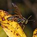 Paper Wasp - Polistes fuscatus, Blackwater National Wildlife Refuge, Cambridge, Maryland