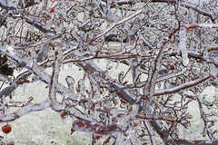 Ice (davekrovetz) Tags: ice nature tree pentax k70 closeup winter weather virginia