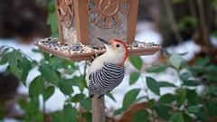 Hanging around (jp254958) Tags: greatvalley chestercounty nature wild feeder sigma a7rii sony malvern pennsylvania birding bird redbellied woodpecker