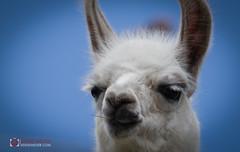 My friend the Lama (eddiemeijer) Tags: lama nature peru machupicchu animal blue grass