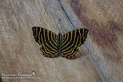 Hyphilaria thasus (Stoll, 1780) - macho/male (Marquinhos Aventureiro) Tags: hyphilaria thasus riodinidae macho male wildlife vida selvagem natureza floresta brasil brazil hx400 marquinhos aventureiro marquinhosaventureiro